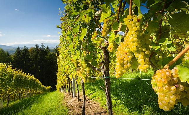 víno Rakousko, vinařství Rakousko, za vínem Rakousko